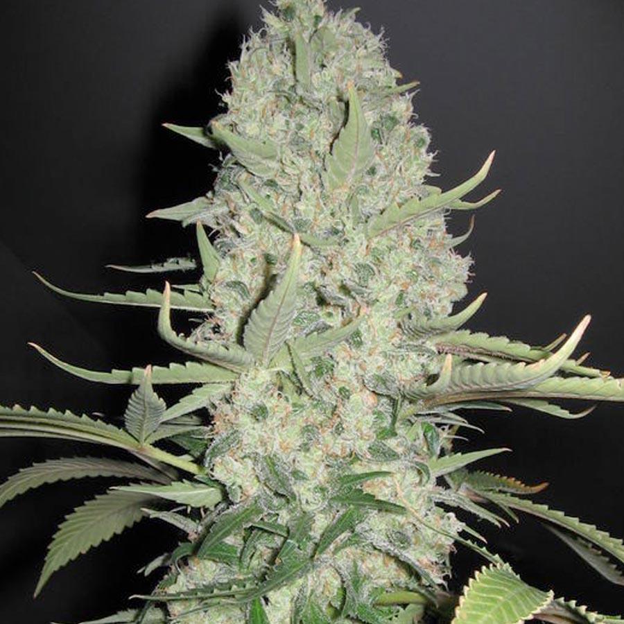 white widow x big bud buy insanely big amp sticky cannabis