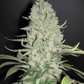 Female Seeds White Widow X Big Bud Feminized