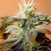Female Seeds Indoor Mix Feminized Seeds