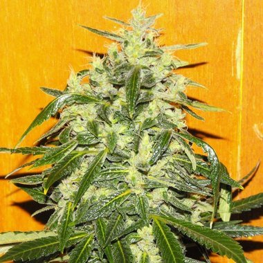 Female Seeds Tropical Ice Feminized