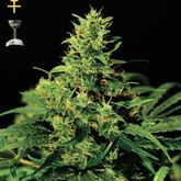 GreenHouse Seeds Big Bang Feminized