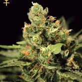 Greenhouse Seeds Big Bang Auto Feminized