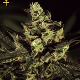Greenhouse Seeds Exodus Cheese Feminized