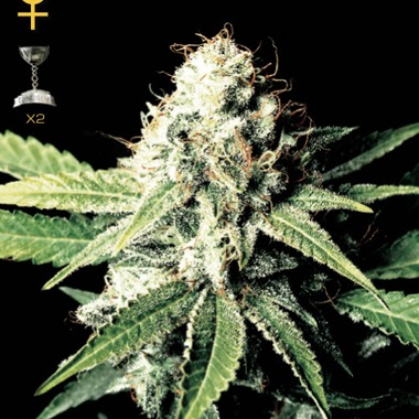 greenhouse seeds great white shark feminized mature