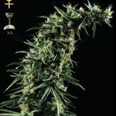 GreenHouse Seeds Hawaiian Snow Feminized