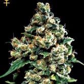 GreenHouse Seeds Jack Herer Feminized