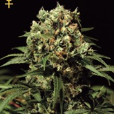 GreenHouse Seeds Kalashnikova Feminized