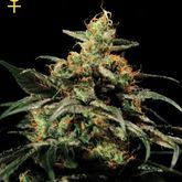 Greenhouse Seeds Kings Kush Feminized