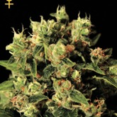 GreenHouse Seeds Ladyburn 1974 Feminized