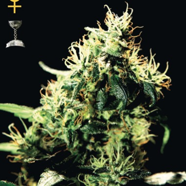 NL5 Haze Mist Seeds