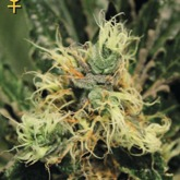 Greenhouse Pure Kush feminized