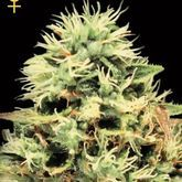 GreenHouse Seeds Super Bud Feminized