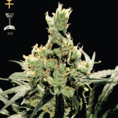 GreenHouse Super Lemon Haze Feminized