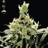GreenHouse Seeds Super Lemon Haze Feminized