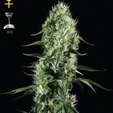 GreenHouse Seeds Super Silver Haze Feminized