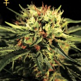 Greenhouse Seeds Doctor Feminized