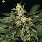 GreenHouse Seeds Train Wreck Feminized