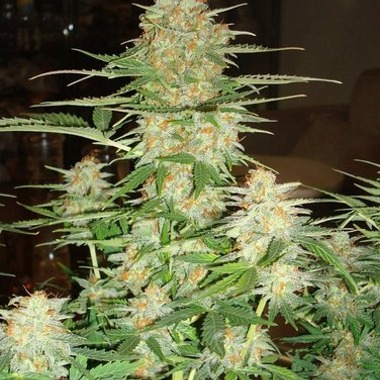 DNA Genetics 60 Day Wonder Feminized