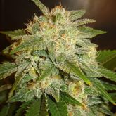 Delicious Seeds La Bella Afrodita Auto Feminized