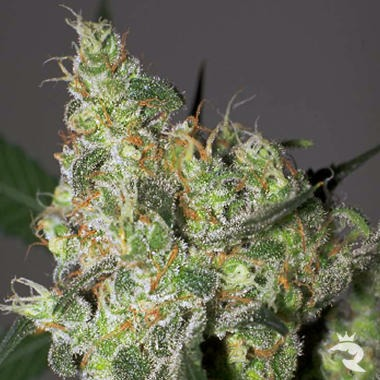 White Russian Feminized