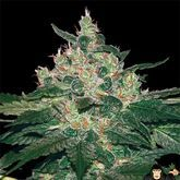 World of Seeds Afghan Kush Feminized