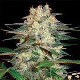 World of Seeds Afghan Kush Ryder Autoflowering Feminized
