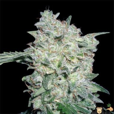 World of Seeds Afghan Kush Special Feminized
