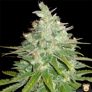 World of Seeds Afghan Kush x Black Domina Feminized