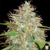 World of Seeds Afghan Kush x Skunk Feminized
