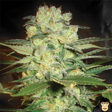 World of Seeds Afghan Kush x White Widow Feminized