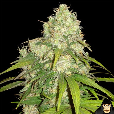 World of Seeds Afghan Kush x Yumbolt Feminized