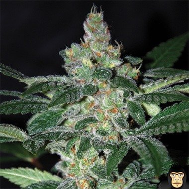 World of Seeds Amnesia Feminized