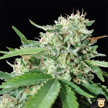 World of Seeds Brazil Amazonia Feminized