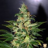 World of Seeds Chronic Haze Feminized
