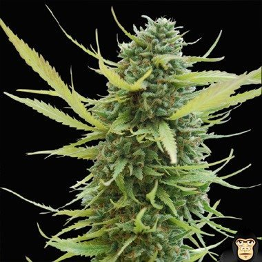 World of Seeds Columbian Gold Feminized