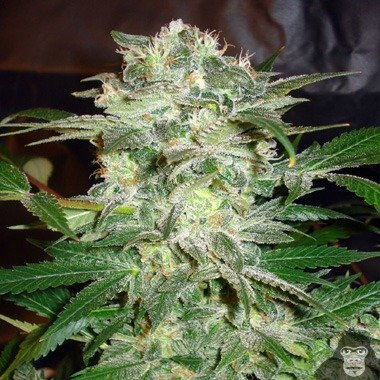 World of Seeds Mazar Kush Feminized