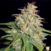 World of Seeds Mazar x White Rhino Feminized