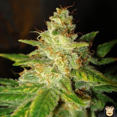 World of Seeds New York Special Feminized