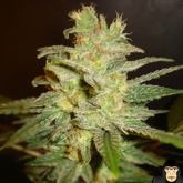 World of Seeds Northern Light x Big Bud Feminized