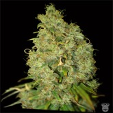 World of Seeds Northern Light x Skunk Feminized