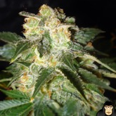 World of Seeds Pakistan Ryder Autoflowering Feminized