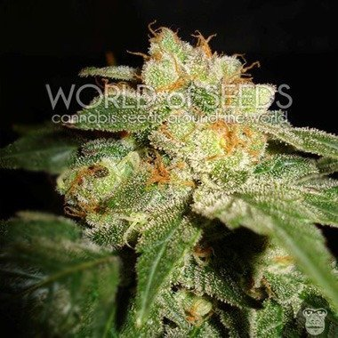 World of Seeds Privilege Feminized