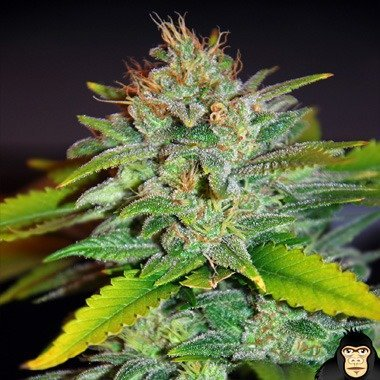 World of Seeds Skunk 47 Feminized