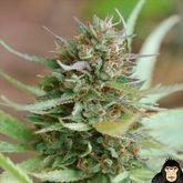 World of Seeds Strawberry blue Feminized
