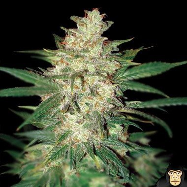 World of Seeds Sweet Coffee Ryder Autoflowering Feminized
