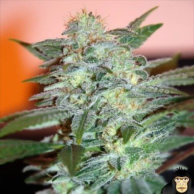 World of Seeds Yumbolt 47 Feminized