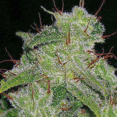 Seedsman Auto Great White | Extra-Thick Resin & Soaring Effects
