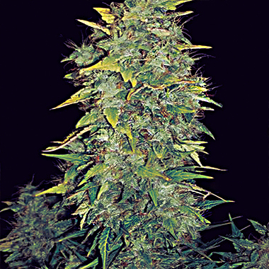 vision seeds white widow auto 56 days is all she needs