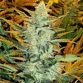 Joint Doctor Lowryder #2 Feminized