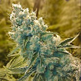 Shark Shock Feminized